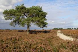 scots pine tree between wilverley plain jim chion cc by sa
