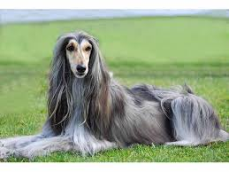 afghan hound times afghan hound detailed information history photos videos and more