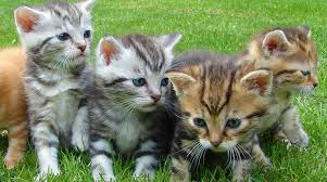 cat vaccinations cost safety and kitten vaccination schedules cat vaccinations costs safety and kitten vaccination schedules