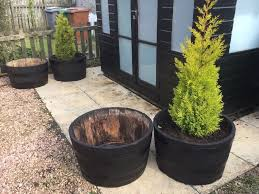 Half Barrel Planters by 2 Half Barrel Planters With Conifers In Glenrothes Fife Gumtree