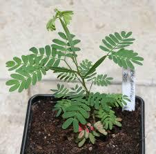 propagating australian native plants growing australian natives from seed in the uk gardeners corner