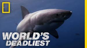 great white shark vs seal world u0027s deadliest youtube