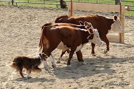 australian shepherd herding w lazy j rudie mason aka