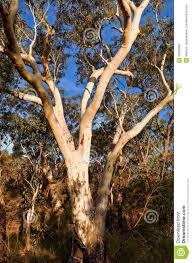 eucalyptus trees in the australian bush stock photo image 55360860