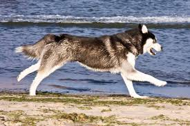 10 boxer dog facts unimaginably stupefying facts about the alaskan husky