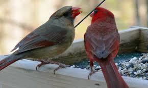 world bird sanctuary birdlore northern cardinal the romantic bird