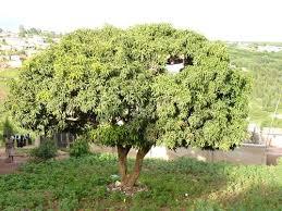 Mango Boom annemarie in afrika