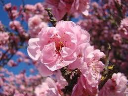 pink cherry blossom tree pink of identification pink majestic