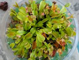 Homemade Fly Trap by Best 20 Fly Traps Ideas On Pinterest House Fly Traps Fly