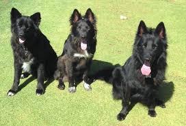 belgian sheepdog groenendael rescue dash dog rescue online
