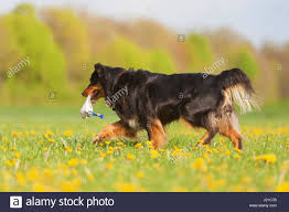 australian shepherd yellow australian shepherd dog walking in stock photos u0026 australian