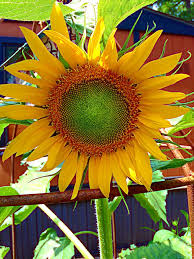 how to care for sunflowers 15 steps with pictures wikihow