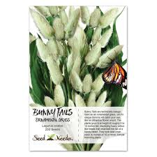 bunny tails ornamental grass seeds lagurus ovatus seed needs