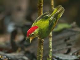 manakins photo gallery pictures more from national geographic