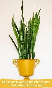 sunlight l for plants sansevieria aka snake plant care the diehard houseplant