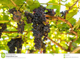 photos de pergola bunches of tinta negra mole grapes on pergola in estreito de