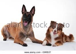 australian shepherd red tri dog australian shepherd aussie standing red merle stock