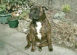 staffordshire bull terrier or staffie stafford staffordshire