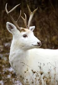 white deer looks like a reindeer white on imgfave