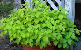 Flowers That Keep Mosquitoes Away Mosquito Repellent Plants You Can Grow In Your Atlanta Garden