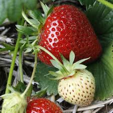 strawberry u0027elegance u0027 mid season thompson u0026 morgan
