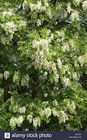 tree with white flowers the white flowers of black locust tree robinia pseudoacacia a