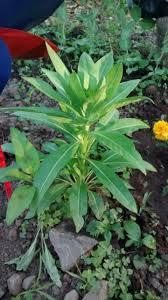 vegetable garden plant identification white tuber tall leafy