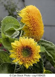 teddy sunflowers teddy sunflowers 01 these adorable sunflowers