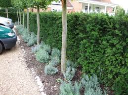 yew hedging instant hedging u0026 hedges yew