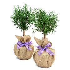 mini plants plant gifts pair mini stemmed rosemary by giftaplant
