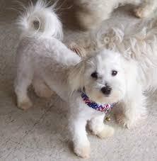 haircutsfordogs poodlemix maltichon info temperament training puppies pictures dogs