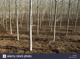 rows of slender trees poplars on a tree farm in stock