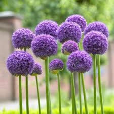 allium flowers longfield gardens allium gladiator bulbs 3 pack 11000113 the