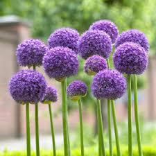 longfield gardens allium gladiator bulbs 3 pack 11000113 the