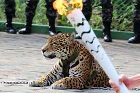 the sad story of juma the jaguar the brazilian harambe