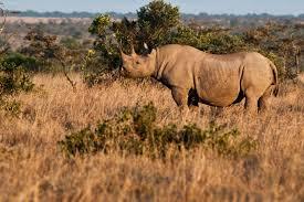 save rhinos now world of animals mag teams up with ol pejeta
