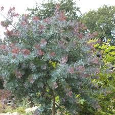 arbuste feuillage pourpre persistant mimosa de bailey pourpre plantes et jardins