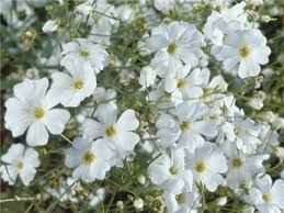 babys breath covent garden baby s breath baker creek heirloom seeds