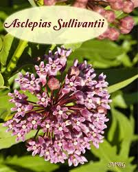 native virginia plants find milkweed plants and milkweed seeds for monarchs
