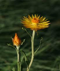 xerochrysum subundulatum synonyms bracteantha helichrysum