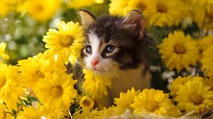 40 cat wallpapers free top ranked cat wallpapers pc ngs462 fhdq