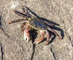 Pleins De Crabe Violonistes Très Crabe De Rivage é Doublé Pachygrapsus Crassipes Comté De San