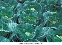 cabbage under net on allotment vegetable garden stock photo