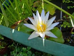 How To Grow A Bulb In A Vase No Pond No Problem Water Lilies Thrive In Containers