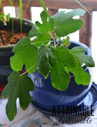 container gardening how to grow a fig tree in a pot