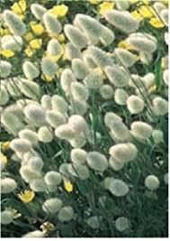 just seed ornamental grass stipa arundinacea 100 seed