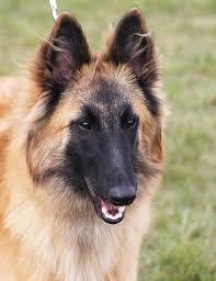 belgian shepherd uk corsini belgian shepherd dogs news