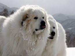 giant u0026 huge dog breeds giant dog list