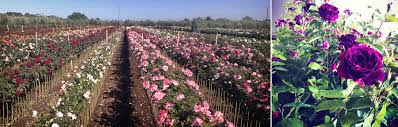 wholesale roses wholesale nursery hillier gawler river roses p l grow a gorgeous