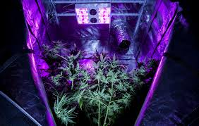 Beginners How To Grow Just by Remote Control Cannabis Cultivation Can Marijuana Growers Finally
